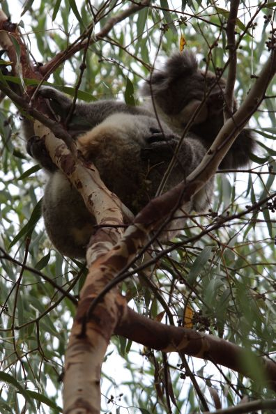 koala03