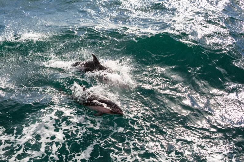 Delfine auf dem Weg zur Isla Magdalena