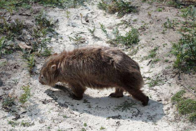wombat03