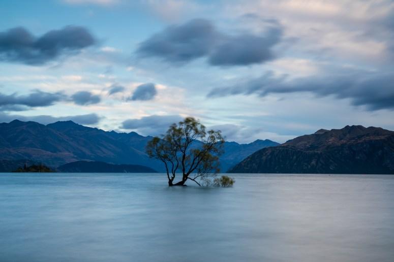 Der Baum nach den Regenfällen - Hochwasser am Lake Wanaka