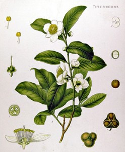 Tea Plant with cross-section of the flower , (lower left) and seeds (lower right), Courtesy of Wikipedia