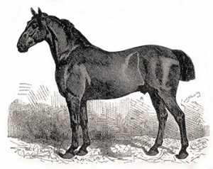 Anglo-Norman Horse, Courtesy of Wikipedia