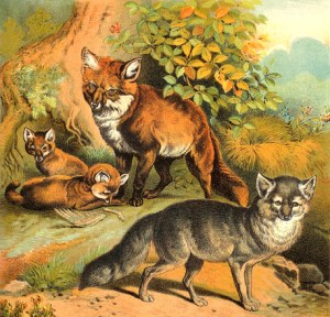 Georgians Trapped Foxes: Common Fox (top) and Blue Fox (bottom)