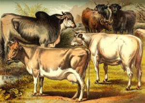Cattle from a Victorian Print and Animal Accidents