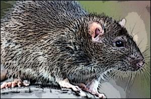 Rat problem