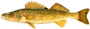 Pike Perch, Author's Collection