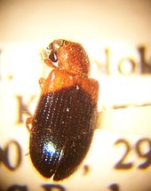 Necrobia ruficollis Seen Crawling on Pierre André Latreille's Cell Floor, Courtesy of Wikipedia