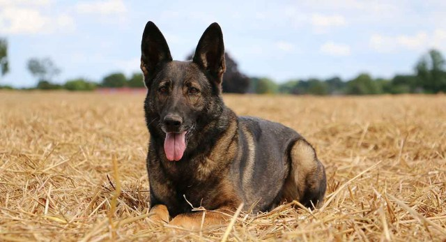 Belgian Malinois, cousin to the German Shepherd. Notice the short hair coat, which results in much less shedding.