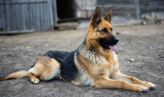German Shepherds have a double coat which is close and dense with a thick undercoat. The GSD undercoat is soft, almost like plush cotton in spots, while the top coat is slick and wiry-feeling.