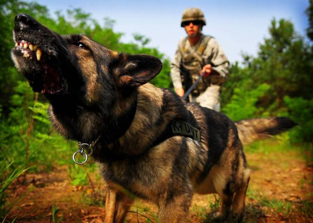 German Shepherds are used in police and military