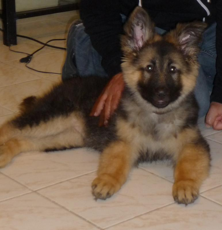 Is My Puppy Long Haired Or Stock German Shepherd Dog Forums