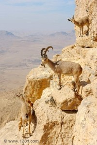7088151-mountain-goats-on-the-slopes-of-the-crater-makhtesh-ramon-israel