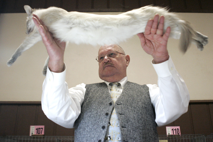 MAX GERSH | ROCKFORD REGISTER STAR All breed judge Ron Summers of Indianapolis, Ind., stretches out Phoenix, a Balinese belonging to Shirley Filipello of Crete, Sunday, Feb. 5, 2012, while judging the adult class during the 56th annual Championship & Household Pet Show at the Forest Hills Lodge in Loves Park. ©2012