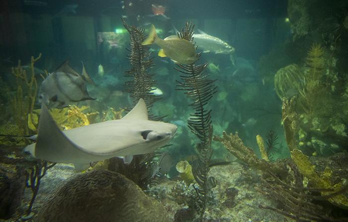 Stingray at the Shedd Aquarium