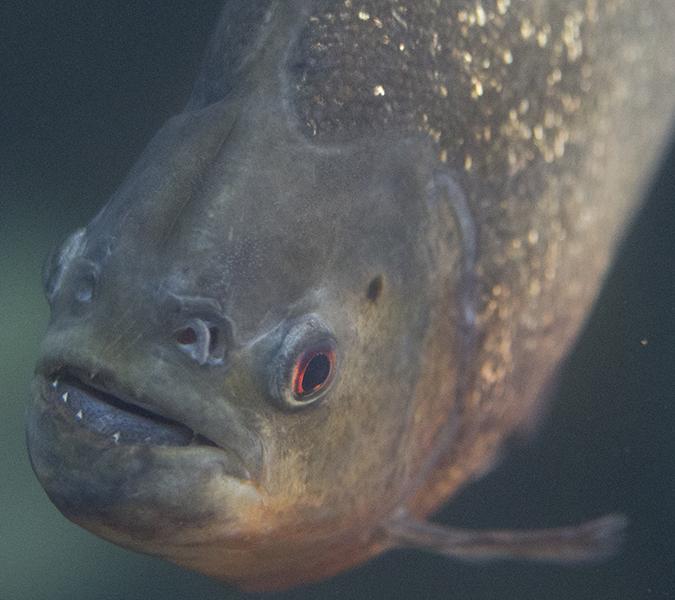 Red-bellied piranha at Shedd Aquarium