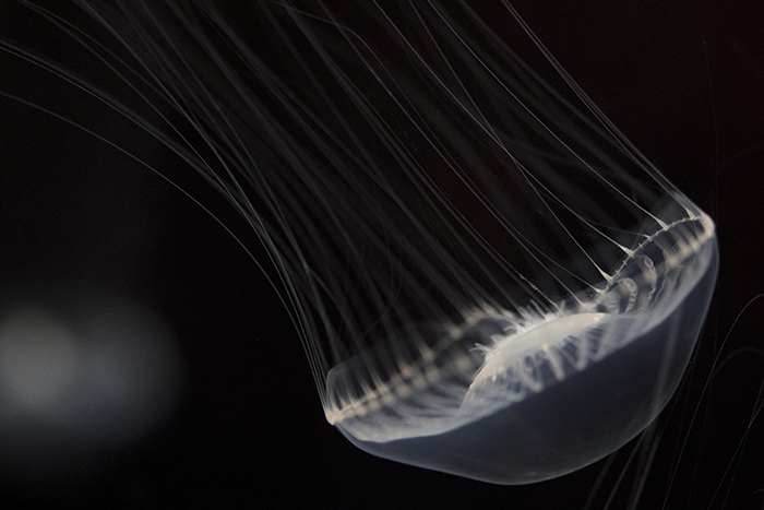 Jellyfish at Shedd Aquarium