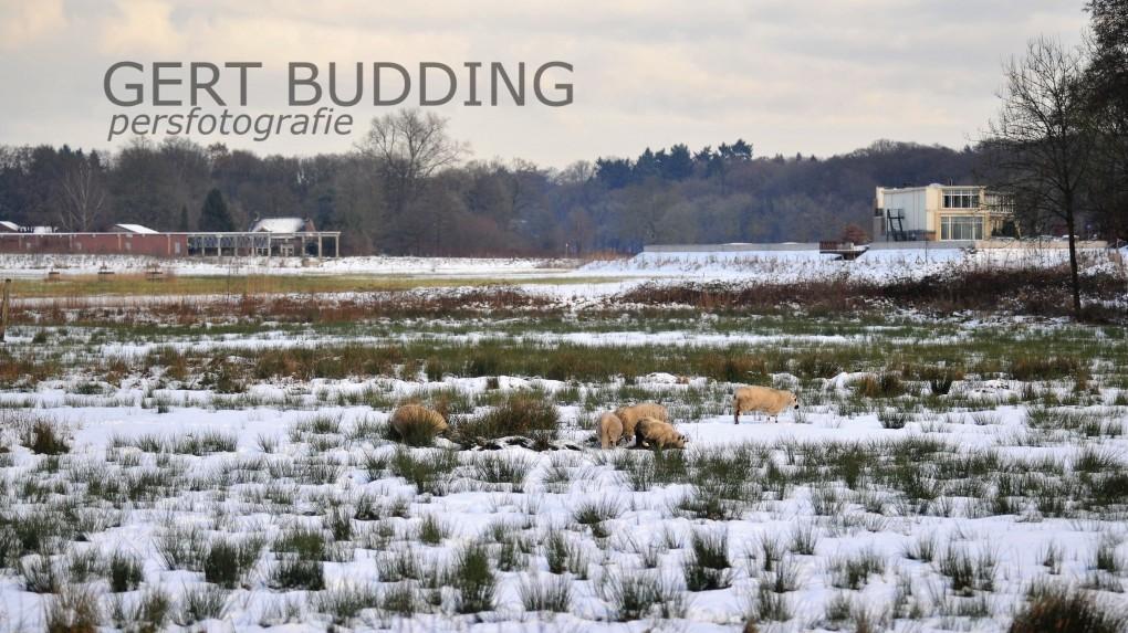 Geen herten wel Duiste Zwartkop schapen in Renkums Beekdal