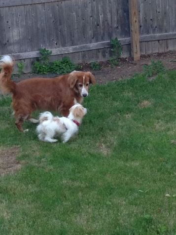 Abby playing with her new fur brother in their back yard 06.23.2014