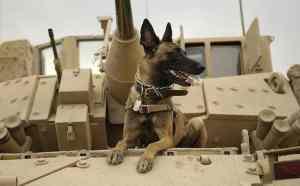 belgian-shepherd-malinois-military-working-dog