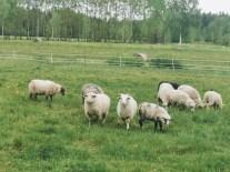 Sodybos avys
