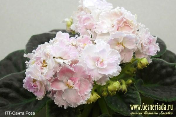 ПТ-Санта Роза: Узамбарская фиалка. Фото, описание, цены ...