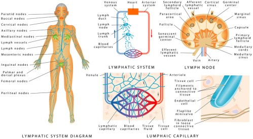Lymphsystem im Detail