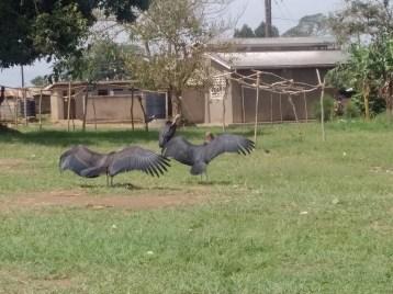 Cranes found only in Uganda