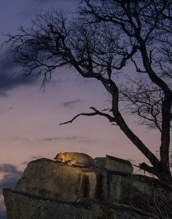 When I was still guiding at Sabi Sabi, I always wanted to capture an image of a leopard on top of this particular rock. We followed this normally elusive cat and as he approached this rock I was just hoping it would happen. A dream came true. - By Kosie Lategan, Tswalu Kalahari. Canon 600D, Canon 70-200mm f/4L, ISO 3200, f/4, 1/80 sec.