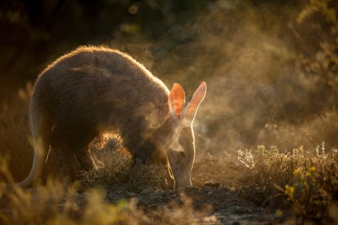 During the five months that I had been trying to habituate this particular aardvark to my presence, I started to notice its unique feeding behaviour. When the aardvark had detected the presence of the insects (mainly termites and ants), it would expose them by opening up an area of ground with its claws which sent the ants scurrying out. It would feed - best described as a combination of vacuuming and sucking - for a short time before walking off. I wanted to photograph this moment and the best way was to get myself into a position where it was backlit. The light caught the dust and the aardvark had just started to feed on the first ants coming out of the hole. – By Etienne Oosthuizen, Nelspruit Canon 6D, Canon 70-200mm f/2.8L, ISO 100, f/2.8, 1/400 sec