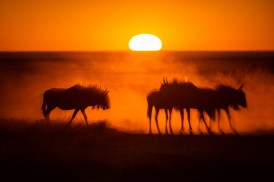 I took this image of a herd of wildebeest kicking up the dust during sunrise at in Etosha National Park. – By Udo Kieslich, Johannesburg Nikon D800, Nikkor 200-400mm f/4G, ISO 400, f/4, 1/8000 sec