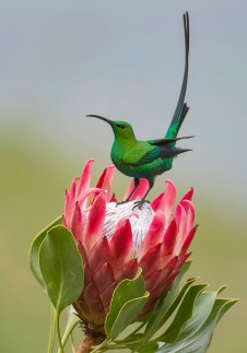 It was early morning at Giants Castle in the central Drakensberg. The light was soft, near perfect conditions, with a gentle breeze. I noticed this malachite sunbird flitting from shrub to shrub in search of some sweet nectar. It dashed over to the protea flower, spending a maximum of fifteen seconds on the flower before it flew away. I managed to get this shot just as he turned… the breeze caught his tail feathers and gave him this striking pose.