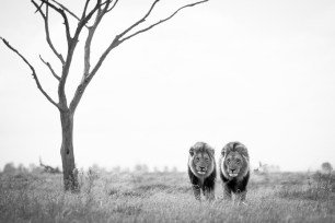 While camping in Savuti, Botswana, we came across a pride of lions relaxing in the middle of the marsh area, and we decided to wait it out until there was action. We positioned ourselves at a waterhole, hoping the lions would come to drink. Exactly that happened- first off was the lionesses and cubs, after which these two stunning males followed. The tree in the background created the perfect composition for my photo. It reminded me of the quote 'if you want to go fast, go alone. If you want to go far, go together.' - By Alwyn Badenhorst, Pretoria Canon 5D Mark III, Canon 100-400 Mark II, ISO 400, f/5.6, 1/2000 sec