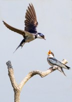 This photo of white-throated swallows was taken at the Marievale Bird Sanctuary at about 9am. The juvenile pictured here would rather be fed than have to hunt. My guess would be, that by mid-January the young one would have to fend for itself. The adults are currently building a new nest in the bird hide. -By David Whyte, Kibler Park Canon 7D Mark I, Sigma 120-300mm f/2.8 Sports Lens, ISO 320, f/4, 1/5000 sec