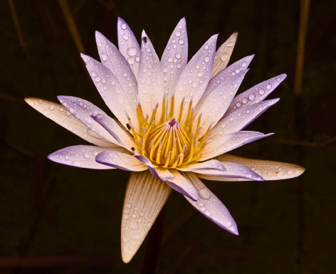 The photograph of this flower was taken in the pond in front of the reception at Skukuza Camp. It was just after a shower of rain. - By Chris Colverd, Sabie Nikon D300, Nikon18-200mm, f/10, ISO 200, 1/100 sec