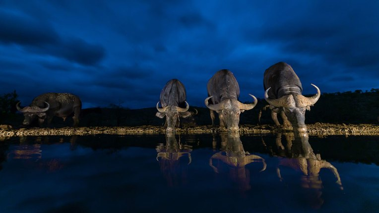 I spent a night at the overnight waterhole in Zimanga Private Game reserve to capture images of game drinking at the waterhole. Dual lights were set-up on either side of the hide at the waterhole to illuminate the scene. To capture this photograph I first had to shoot a long exposure image with the lights illuminating the scene and then in camera use this image as a baseplate to capture the buffalos drinking water. I did not have to wait too long for the buffalos before I managed to capture this beautiful reflection of the buffalos in the water. – By Pierre Jordan, Secunda. Canon EOS 5D MkIII, Canon EF 16-35mm f/2.8, ISO 1600, f/2.8, 1/80 sec.