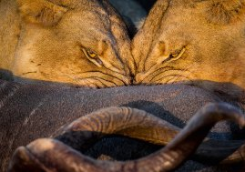 I captured this image of two lionesses on a kudu-bull kill at Kuzuko Lodge in Addo Elephant National Park. The symmetrical unison of their feeding inspired me to take the picture. To me, it is a reflection of the strength of the coalition between these two females, to the extent that they can feed in this manner, close up, relaxed and with absolute trust in each other. One often sees aggressive feeding and skirmishes at kills, in total contrast to these two. – By Jon M. Vosloo, Ingleside, Sundays River Valley Canon EOS 1D Mk IV, Sima 150-600mm f/5-6.3, ISO 800, f/7.1, 1/200 sec