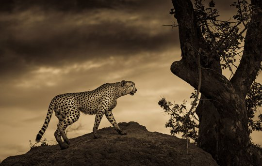This cheetah was marking its territory after the short rains in the Greater Kruger, Sabi Sands. I took this shot from the open game vehicle. – by Annemarie du Plesis. Canon EOS 5D Miv, Canon EF 70-200, ISO 100, F/3.2, 1/1600 sec