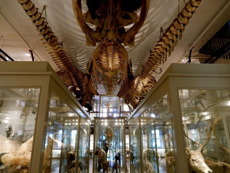 Whale skeleton exhibit, Harvard Museum of Natural History, Cambridge MA #Cambridge365 @GetawayMavens