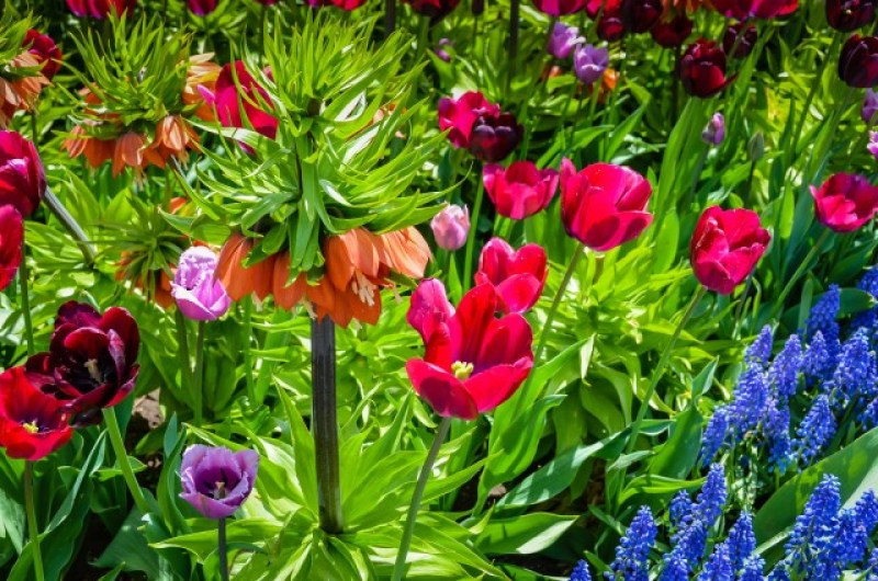 Fritillaria Imperialis with assorted tulips and Grape Hyacinths. Albany Tulip Festival, 2013. #garden #Northeast @GetawayMavens