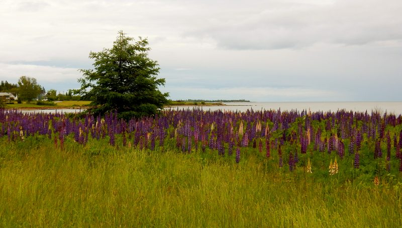 June Lupines in Bloom, Schoodic Peninsula ME