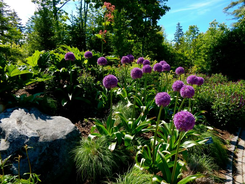 Purple, Coastal Maine Botanical Gardens, Boothbay ME