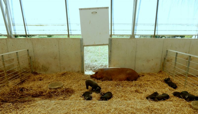 hog-facility-rodale-institute-kutztown-pa