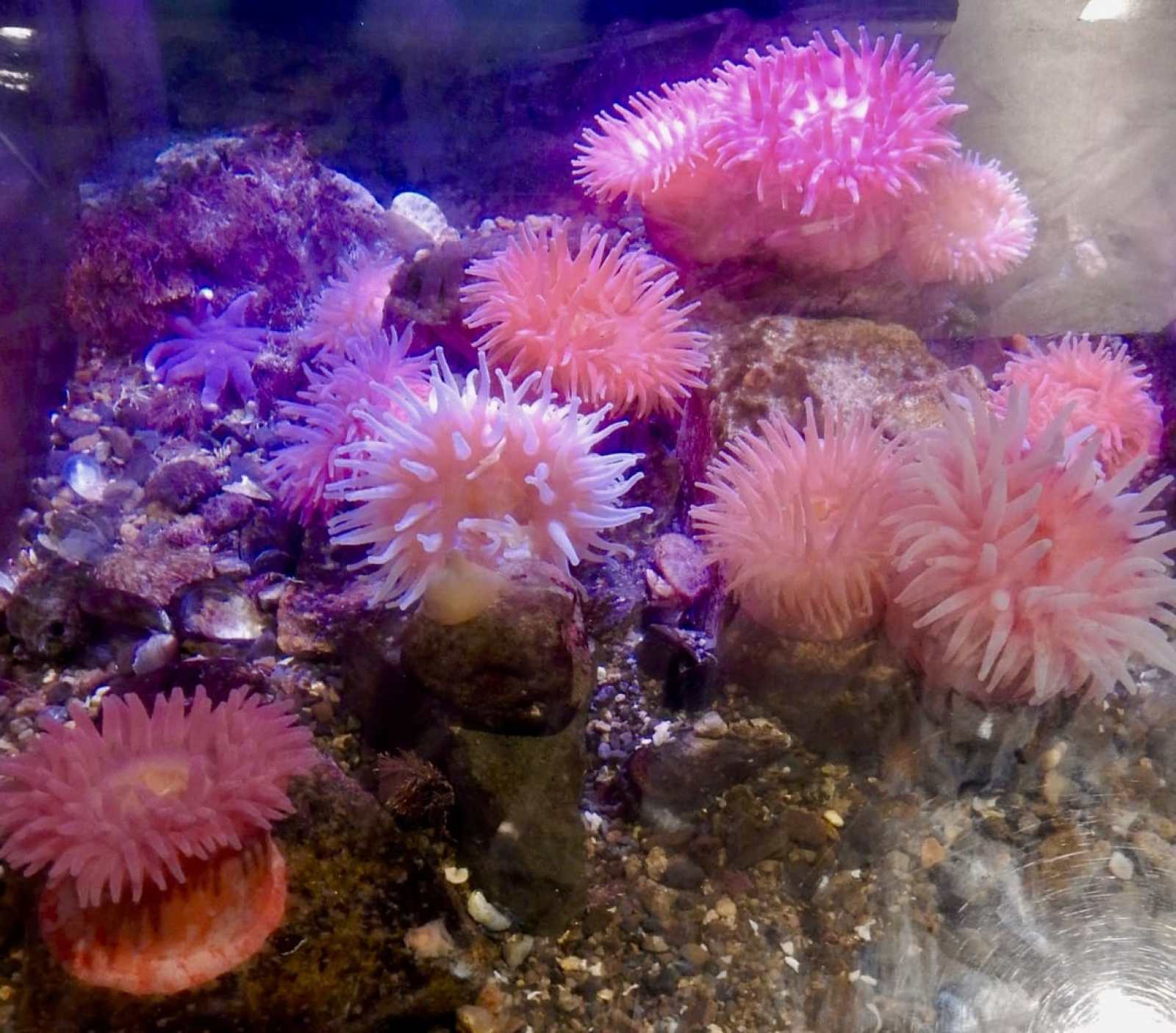 Red Anemone from Gulf of Maine Seacoast Science Center Rye NH