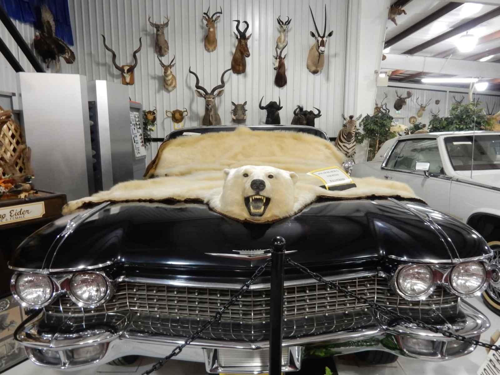 Polar Bear Skin on Car Hood, Grice Clearfield Community Museum PA