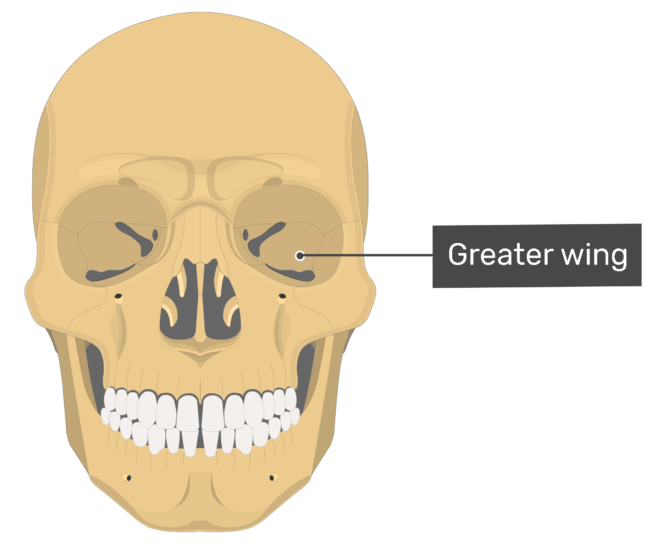 Wing Lesser Superior And Greater View Wing Cranial
