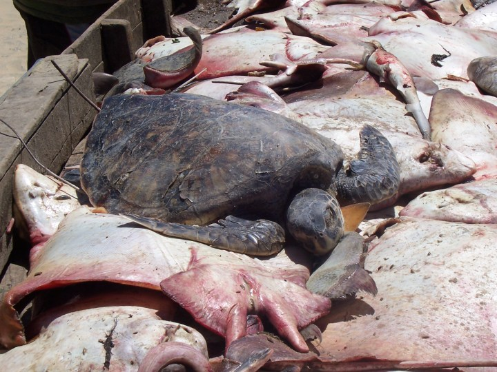 Bottom trawling is not a sustainable fishing method. It results in vast amounts of bycatch, such as these rays and turtle.