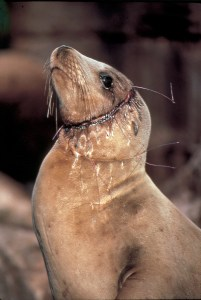 Gillnet cuts into sea lion as it grew around the net. Not a sustainable fishing method.