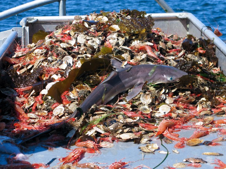 Bottom trawling is not a sustainable fishing method. It results in vast amounts of bycatch, such as this shark and crabs.