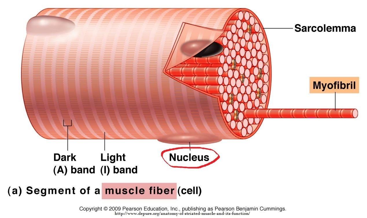 muscle cell and nucleus