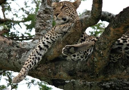 leopard_2f